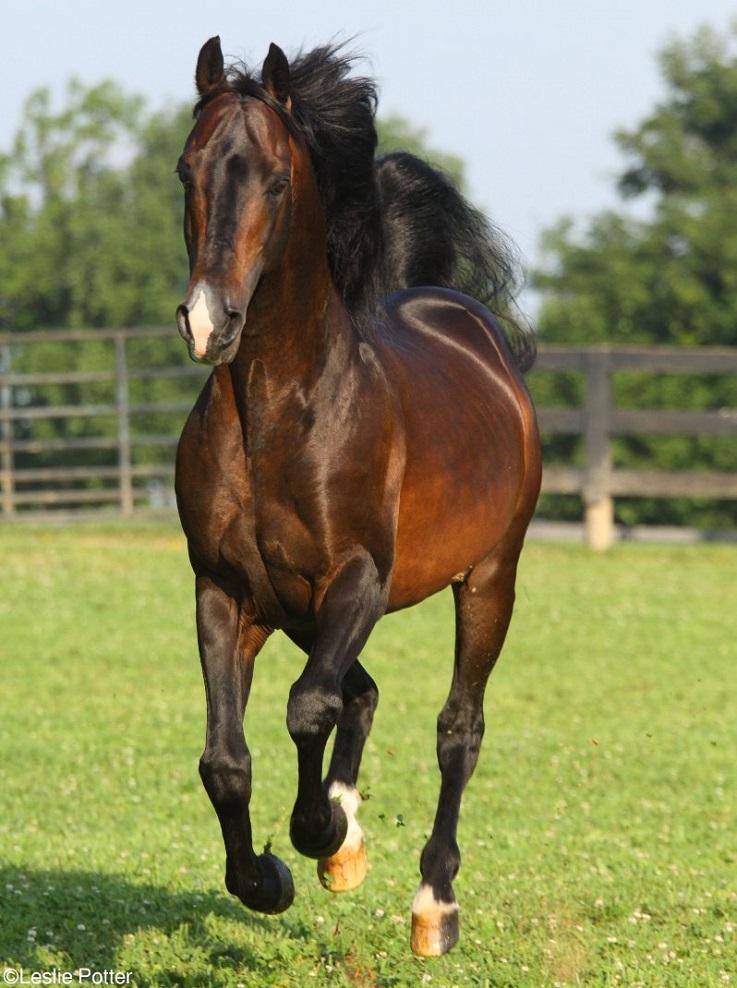Beethoven the Morgan Stallion